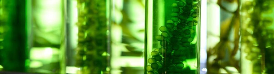 Biotechnologie : l'importance des microalgues marines